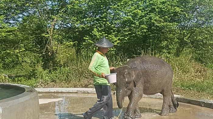 belalai terpotong erin gajah sumatera