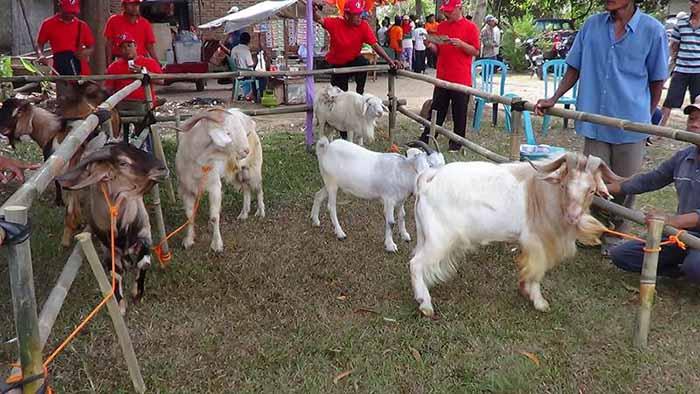 Kambing Saburai Lampung Oke