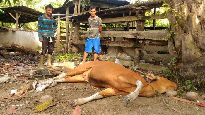 Puluhan Sapi di Lampung Mati Mendadak Akibat Virus Jembrana
