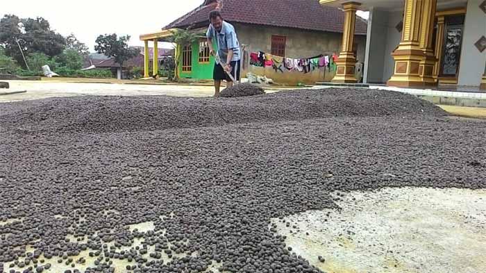 Petani Kopi Lampung Barat