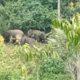 Gajah Liar di Suoh