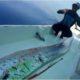 Ikan Oarfish Muncul di Selayar
