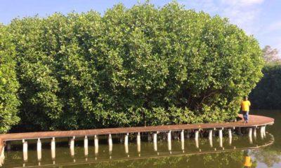 Wisata Mangrove Petengoran